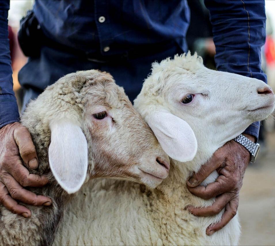 شهرداری رشت مکان عرضه وذبح گوسفنده زنده را اعلام کرد.