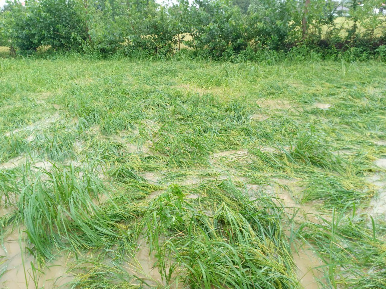افزایش هزینه های تولید دومین شهرستان برنج خیز استان گیلان براثر بارندگی