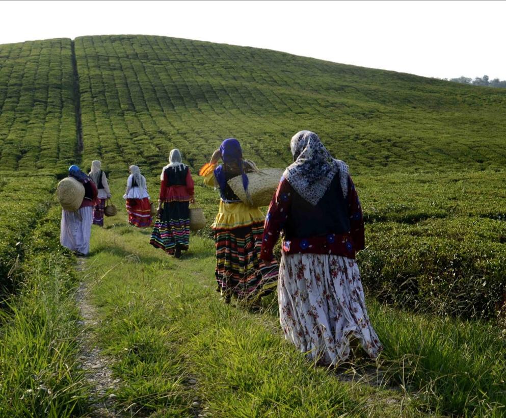افزون بر ۸۱ هزار تن برگ سبز چای از چایکاران استان های گیلان و مازندران خریداری شد.
