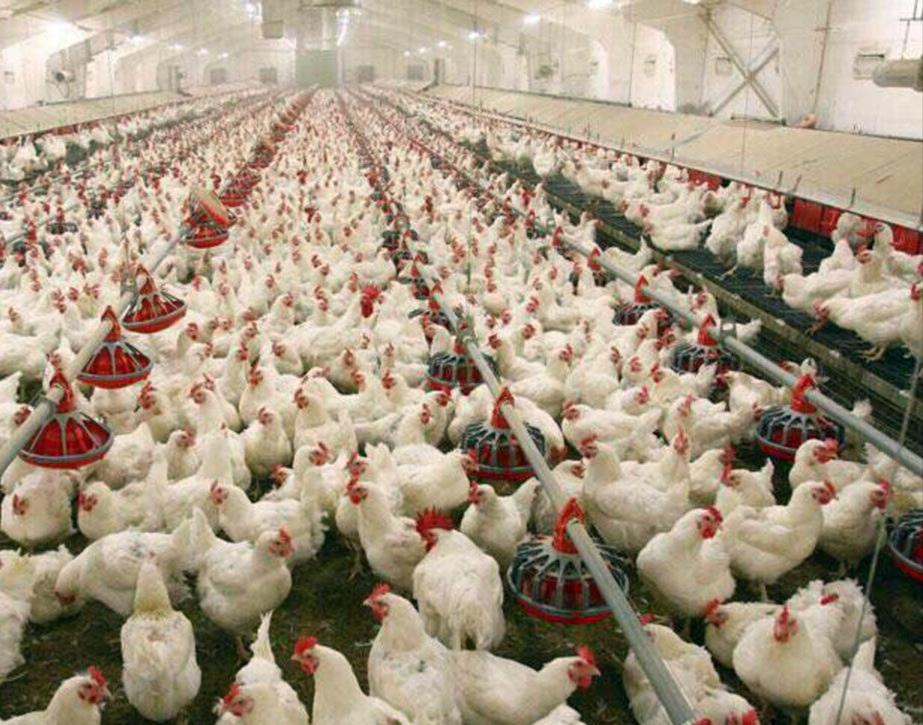 افزون بر ۶۲ هزار تن گوشت مرغ در گیلان تولید شد.