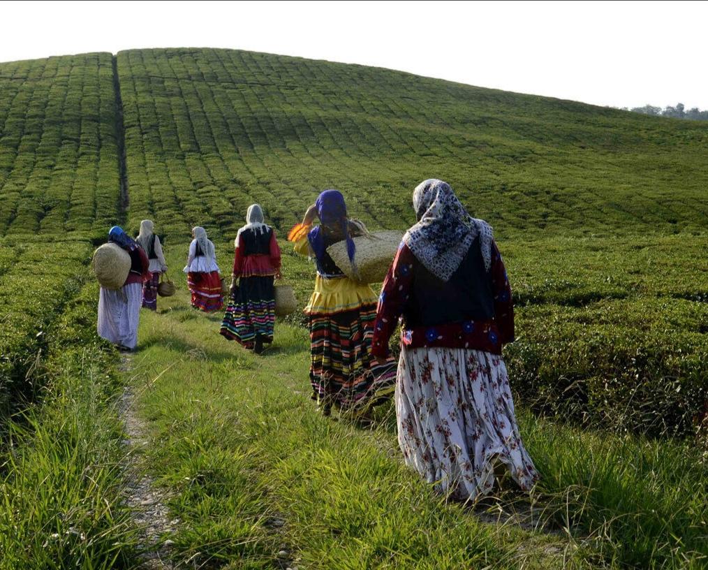 یک هزار و ۴۳۴ تن برگ سبز چای درگیلان خریداری شد.