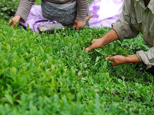 برداشت برگ سبز چای از باغهای گیلان آغاز شد.
