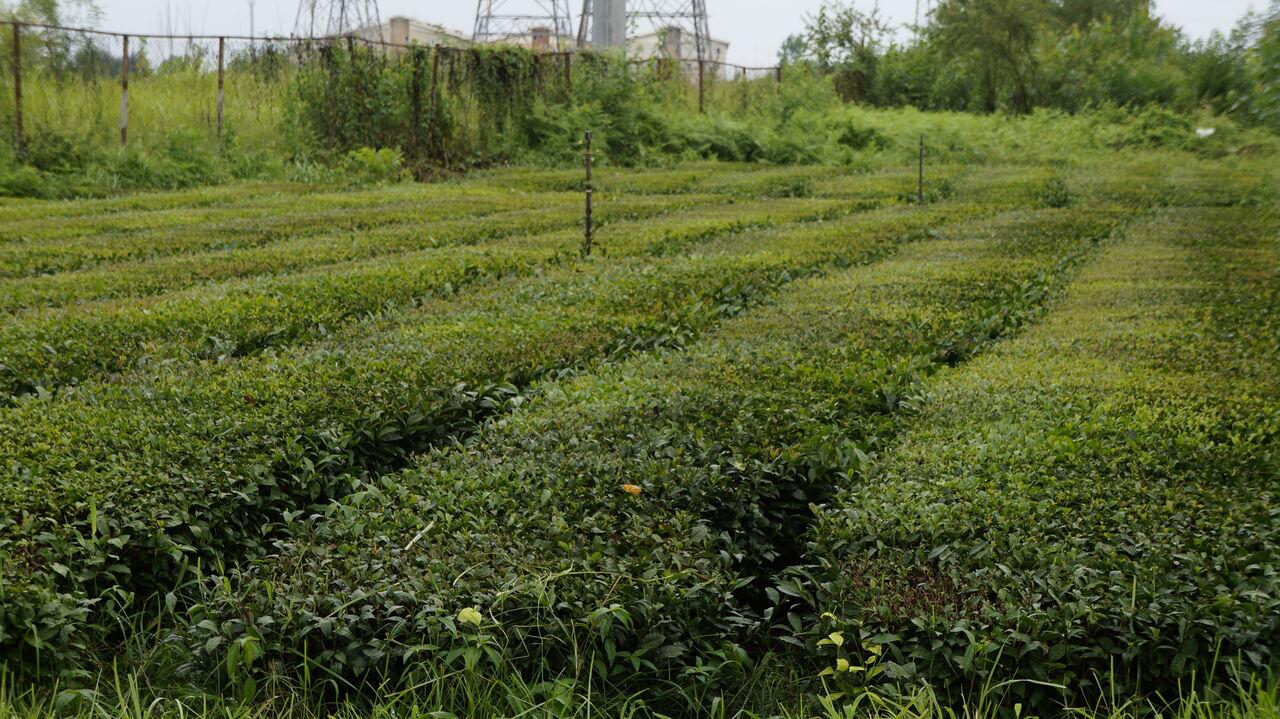 ۵۵۰ میلیارد ریال تسهیلات بهزراعی باغات و بهسازی کارخانجات چای پرداخت می شود